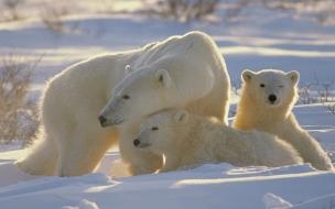 Osos polares en la nieve