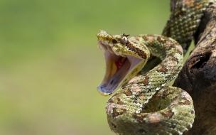 Serpientes con boca abierta