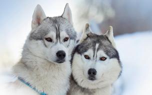Siberianos