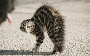 Un gato erizado