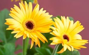 Flores margaritas amarillas