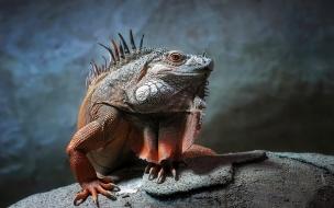 Fotografía de Iguana