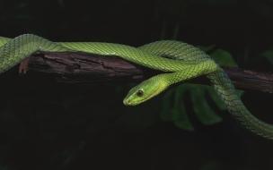 La mamba verde