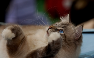 Gato marron ojos azules