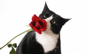 Gato y una rosa roja