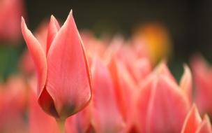 Flor tulipan roja