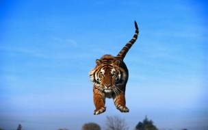 Un tigre saltando
