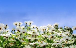 Jardin de flores margaritas