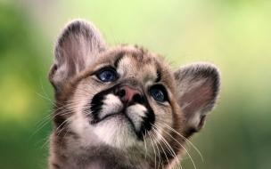 Un leoncito