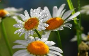 Flores margaritas y lluvia