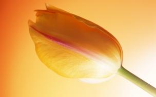 Una flor tulipan naranja