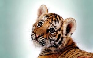 Un tigre chachorro