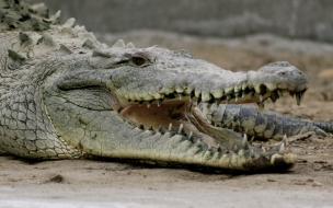 Gran cocodrilo