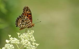 Mariposa marron