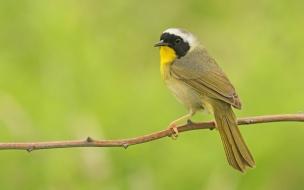 Pájaro pecho amarillo