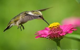 Un picaflor en una flor
