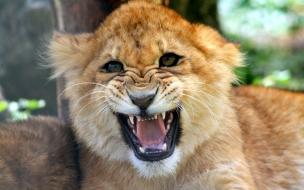 Cachorro león rugiendo