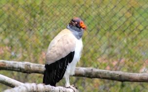 Condor Real
