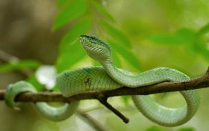 Una serpiente Viper