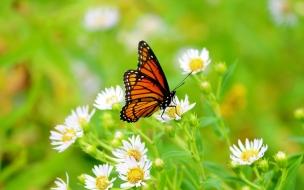 Mariposa en un flores blancas