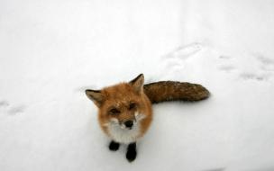 Un zorro en la nieve