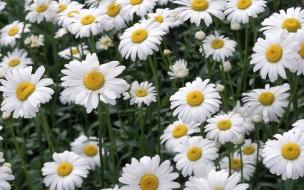 Jardin con flores margaritas