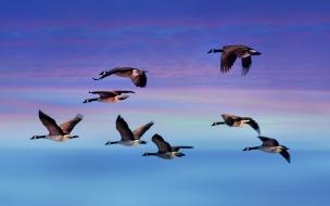 Patos volando
