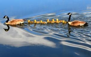 Familia de patos nadando en el lago