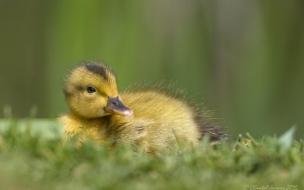Pato bebe amarillo