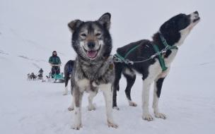 Perros y un trineo
