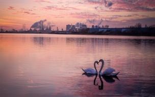 Pareja de Cisnes en forma de corazón