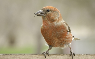 Ave Crossbill rojo