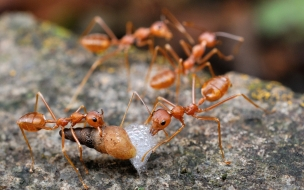 Hormigas cazando