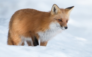 Zorro rojo en las nieves