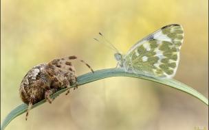 Araña vs Mariposa