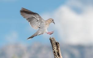 Paloma aterrizando en un palo