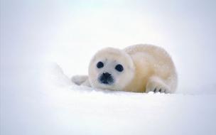 Una foca de las nieves