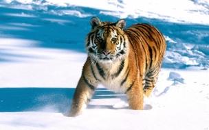 Un tigre en la nieve