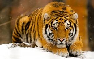 Un tigre en nieve