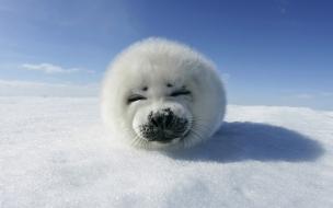 Una foca de la nieve