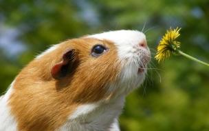 Un cuy y una flor