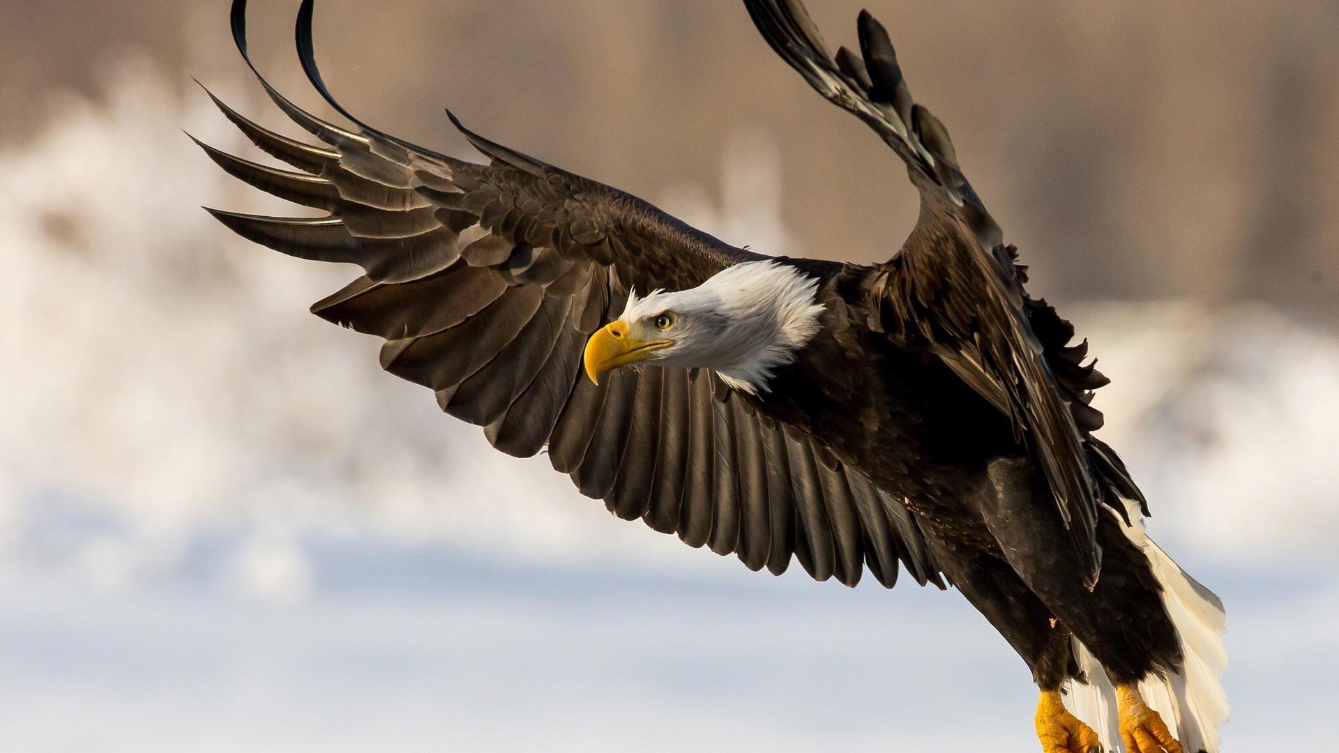 Aguila cabeza blanca - 1920x1080