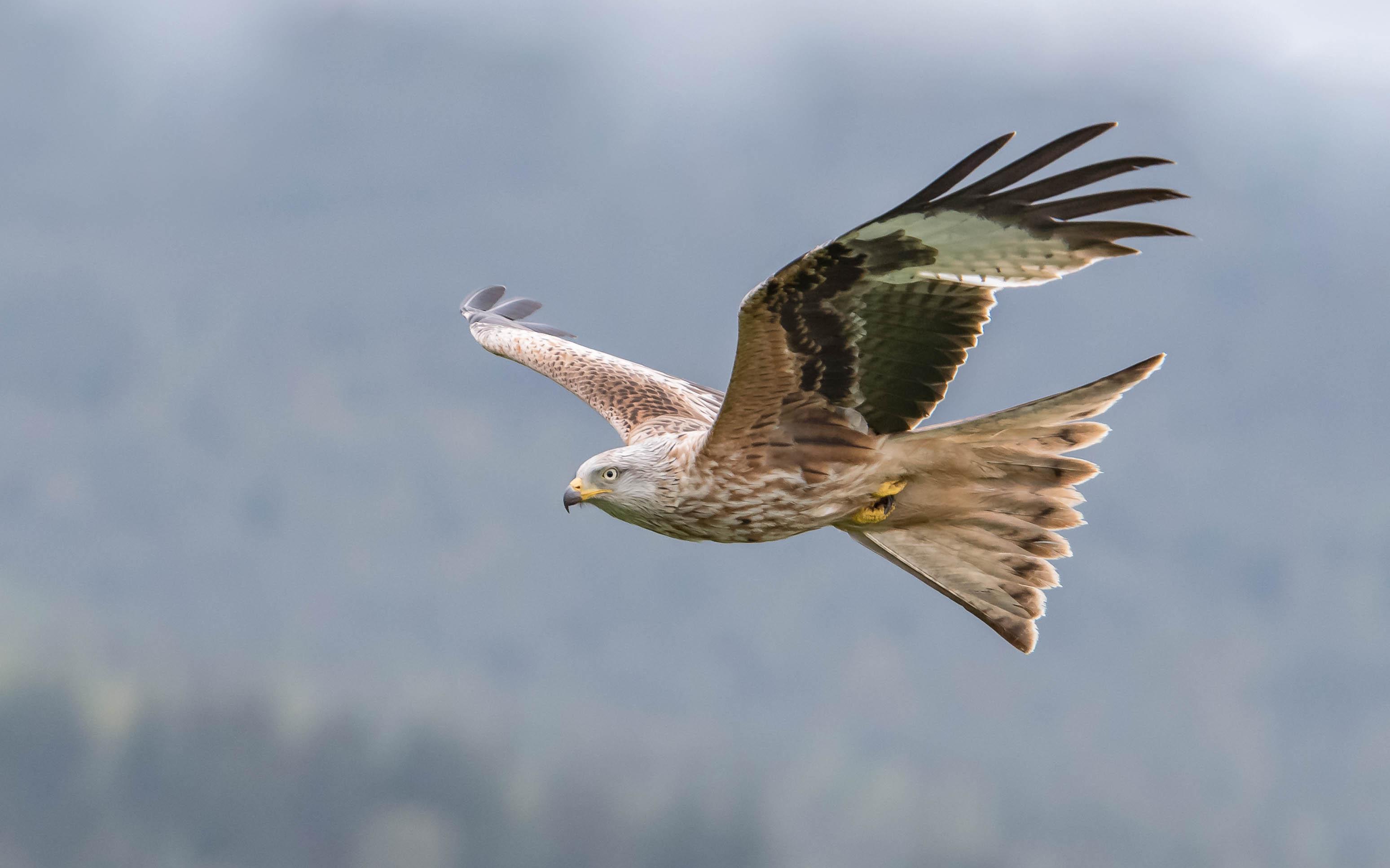 Aguila volando - 3096x1935