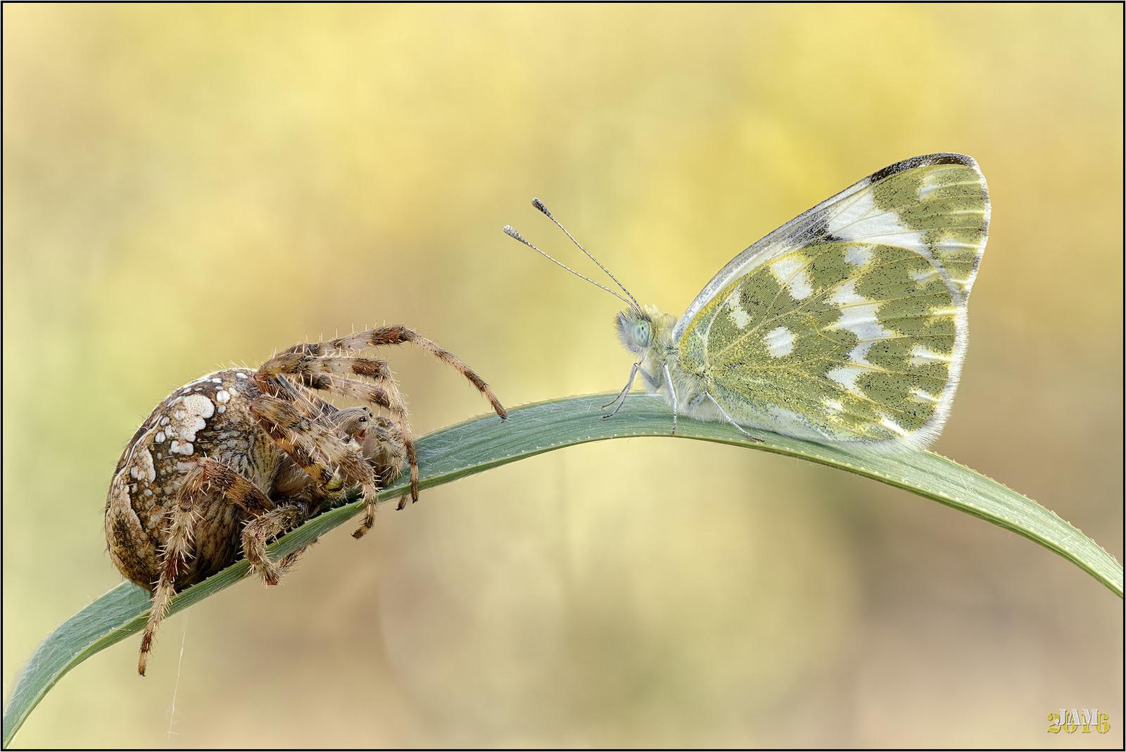 Araña vs Mariposa - 1600x1068