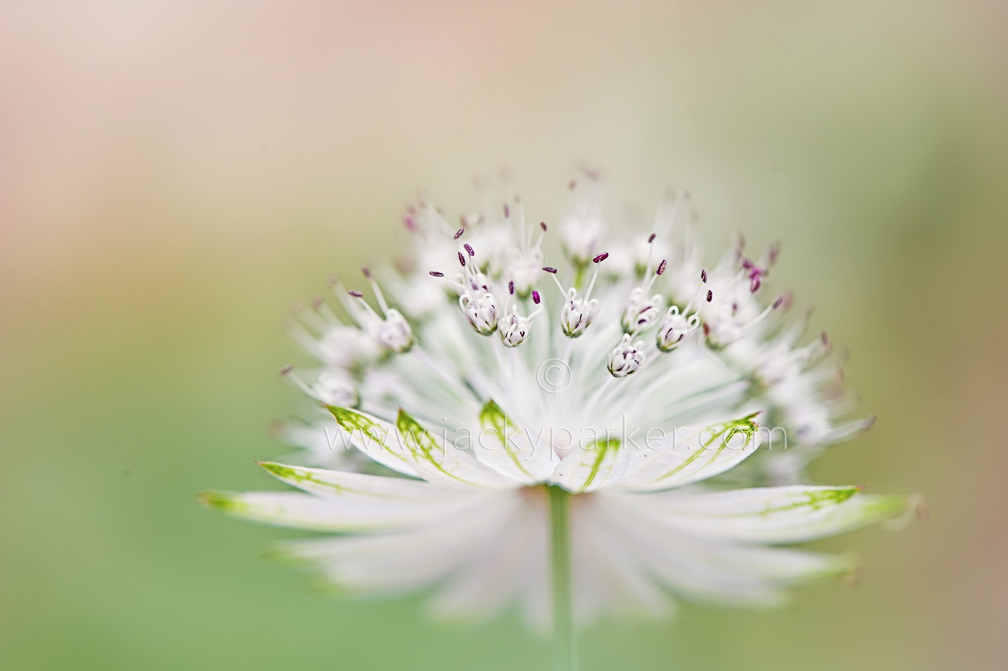 Astrantia major - 2048x1363