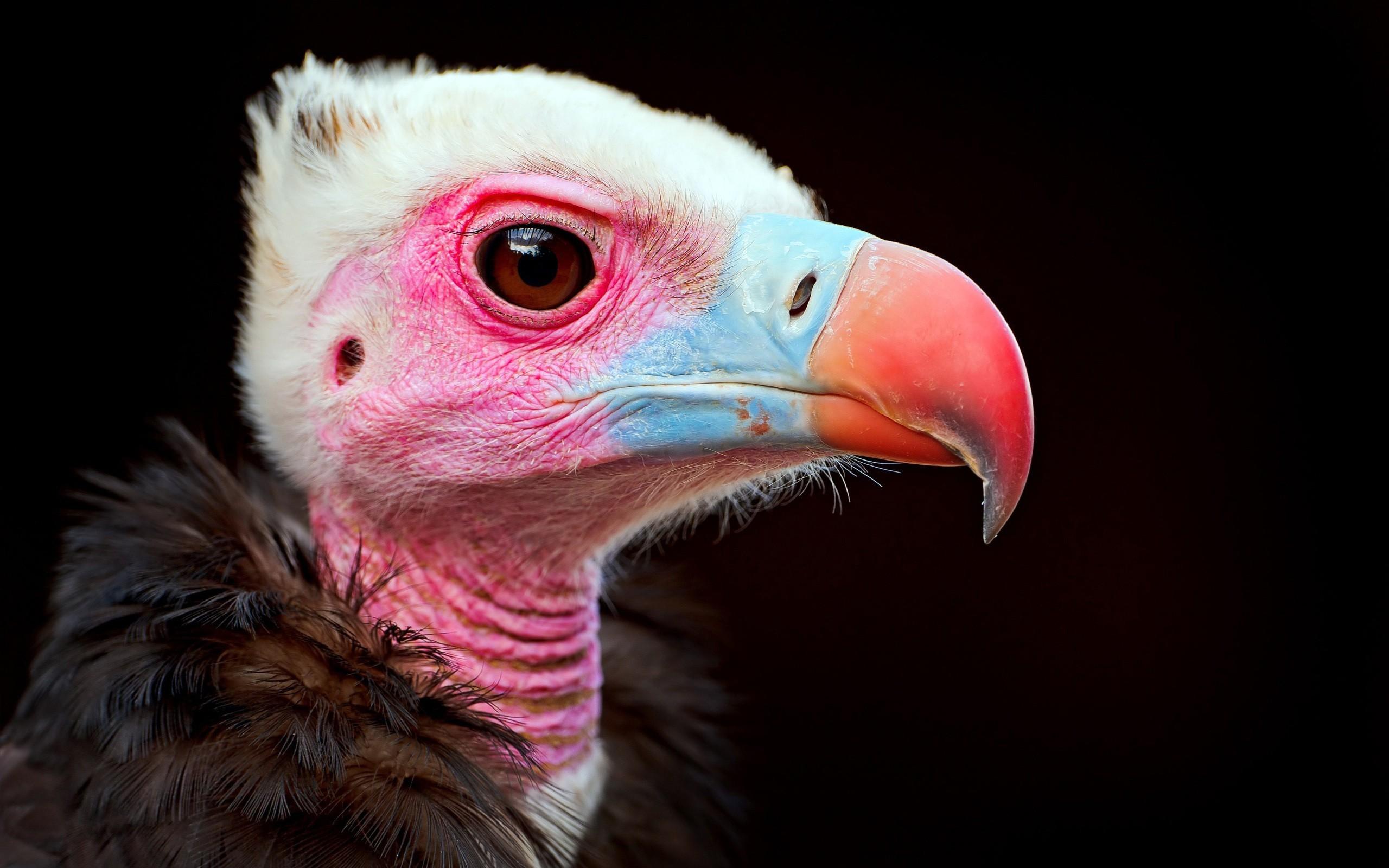 Cabeza de un Condor - 2560x1600
