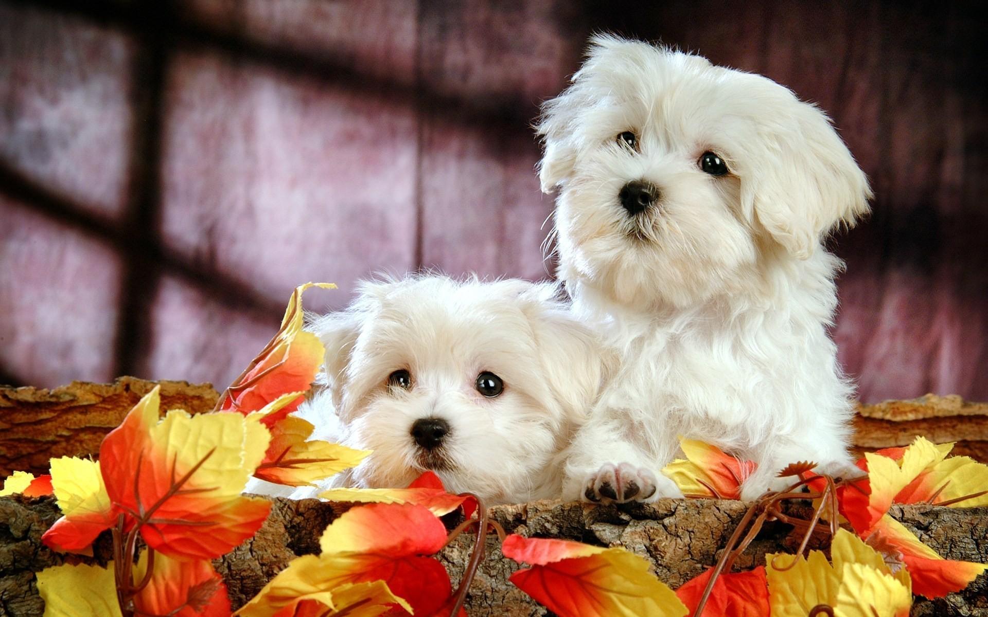 Cachorros blancos - 1920x1200