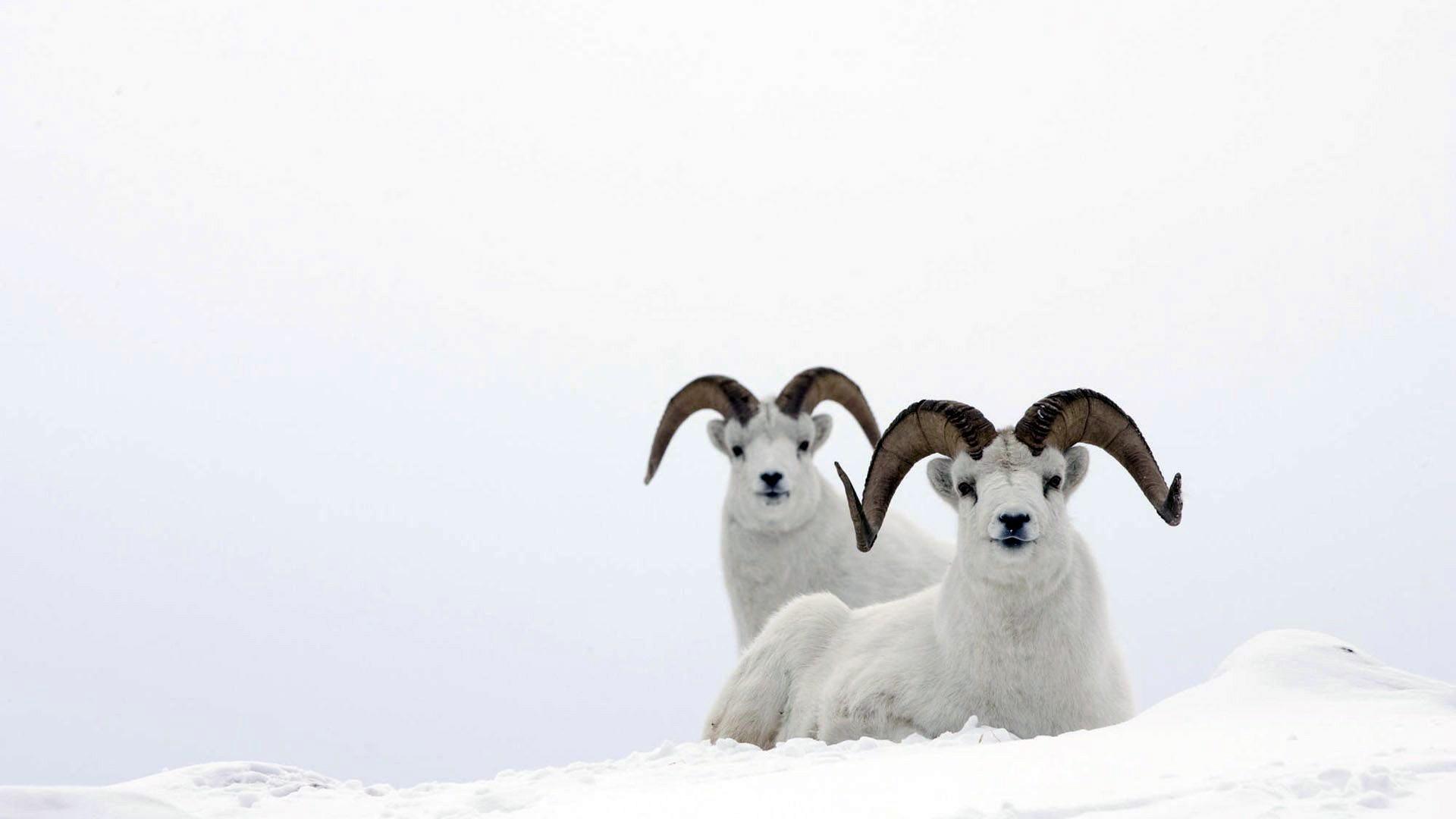 Carneros en la nieve - 1920x1080