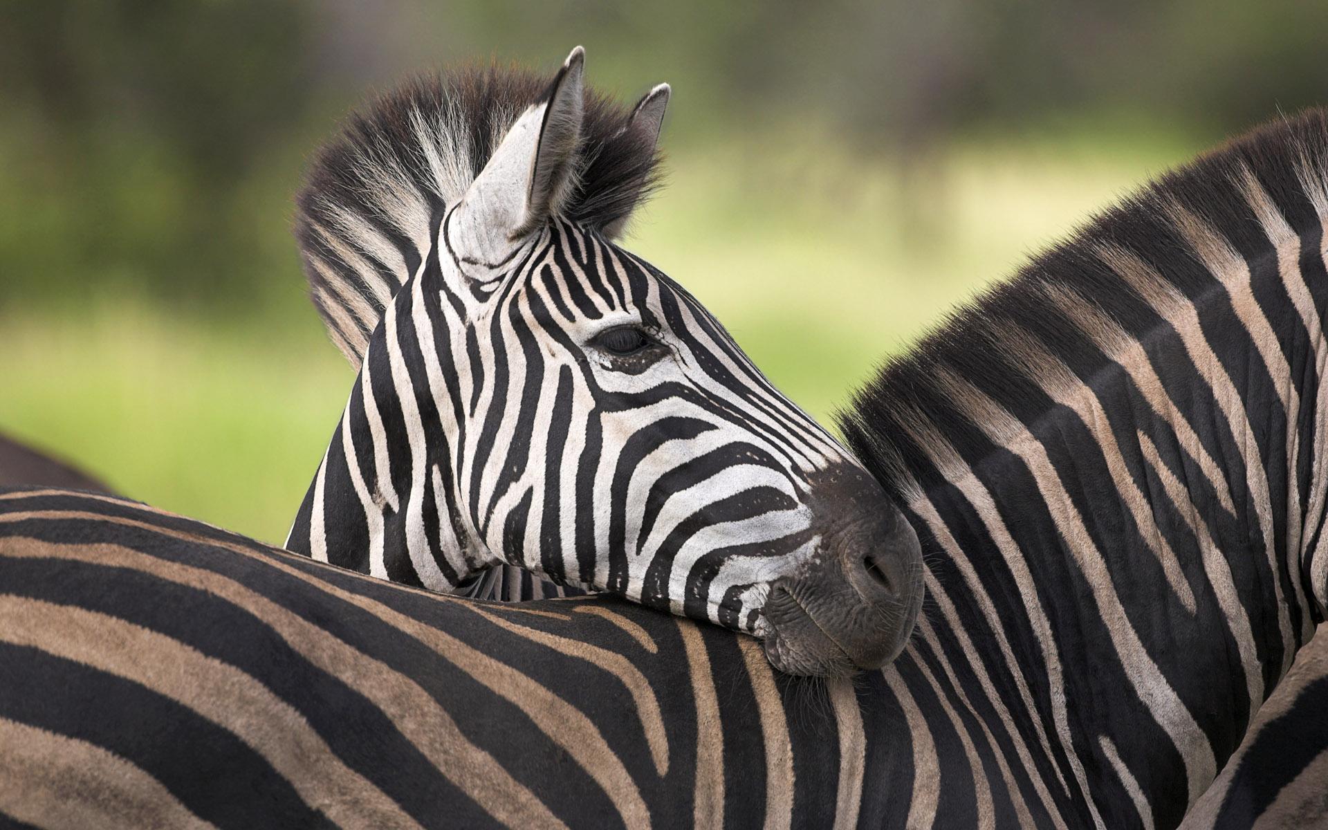 Cebras africanas - 1920x1200