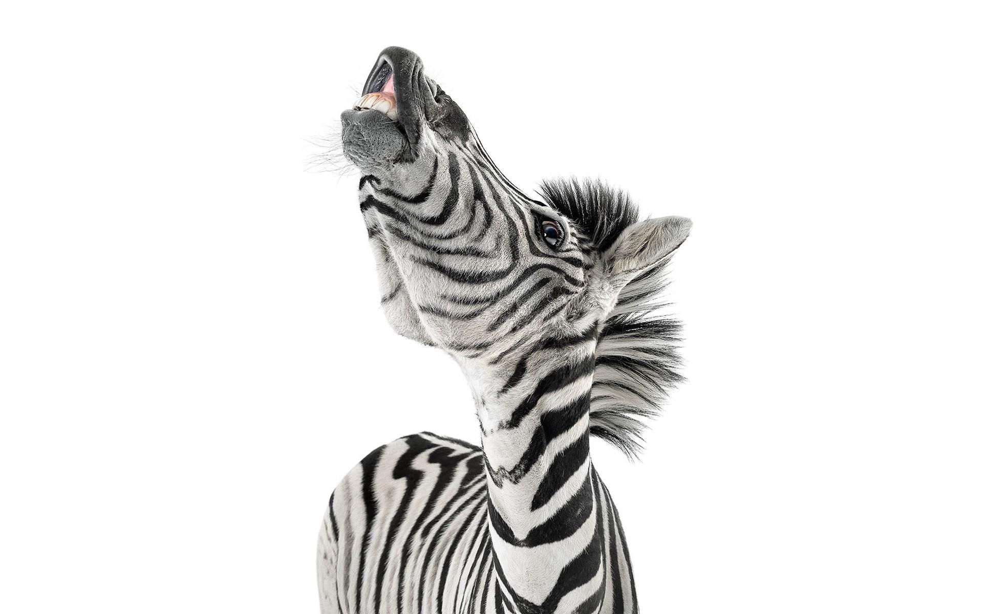 Cebras graciosas - 1920x1200